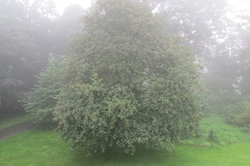 Whitebeam in mist, Budle Bay.