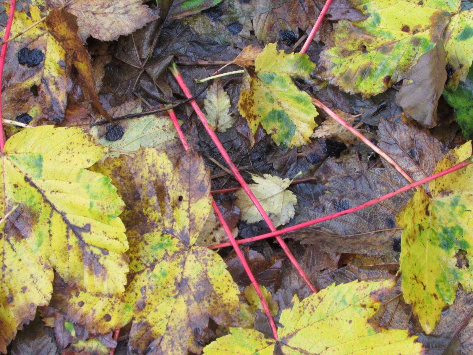 red-stems-of-sycamore