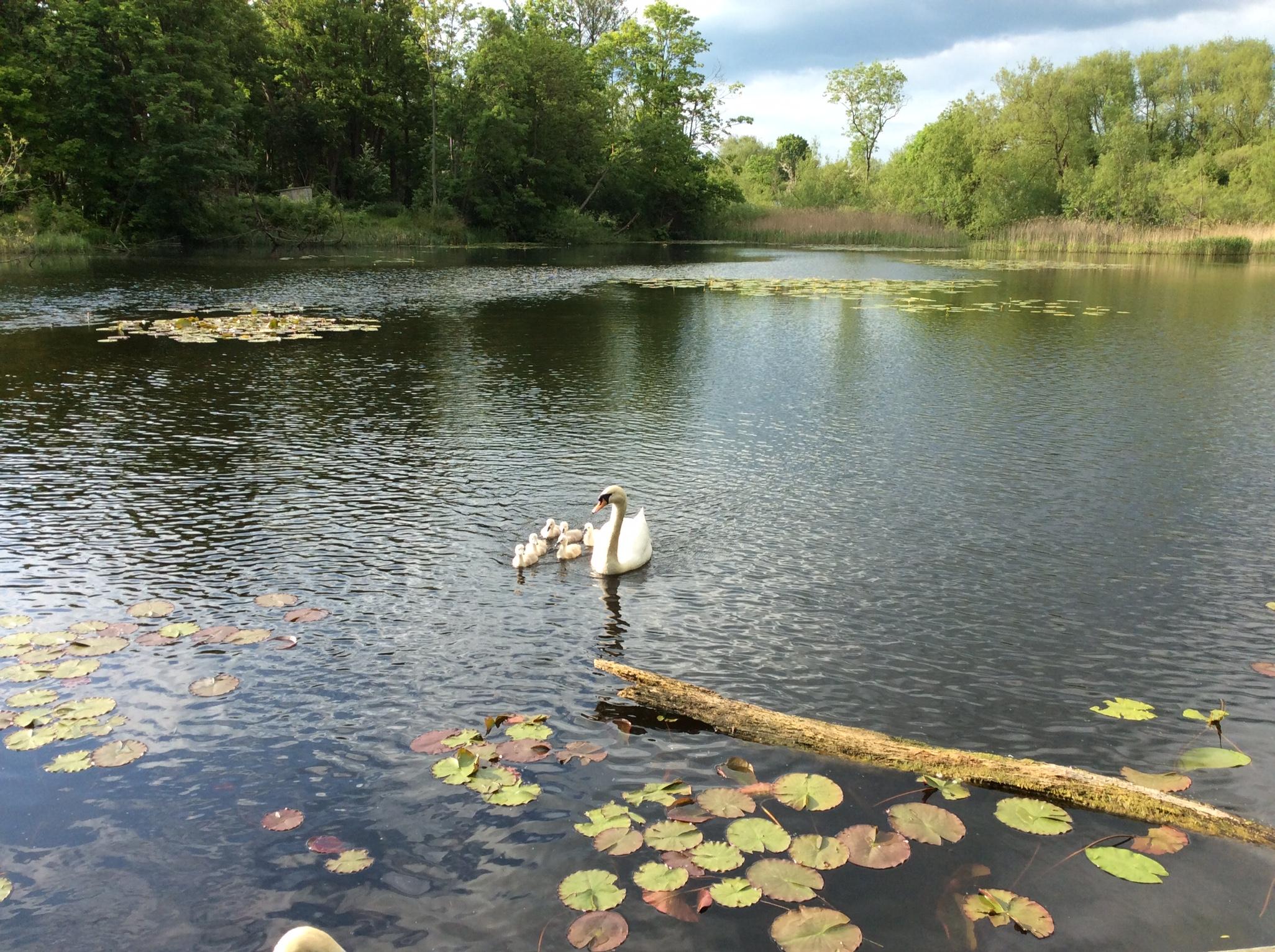 Swans spring 2016 copy.JPG